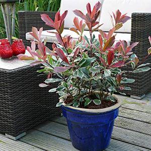 Photinia x fraseri»Pink Marble» | Photinia rose | Arbuste d'ornement | Hauteur 30-40cm | Pot Ø 19cm