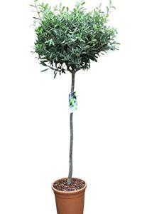Oliviers en demi-tige – Plantes ayant pris racine qui donneront des fruits cette année