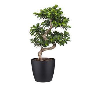 bonsaï de Botanicly – Bonsaï en pot de fleur noir comme un ensemble – Hauteur: 70 cm – Ficus Gin Seng
