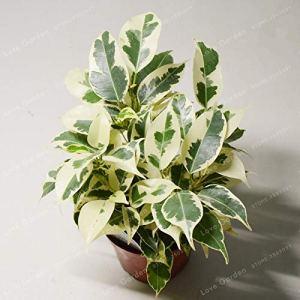 Generic Frais 20 pcs Ficus Benjamina graines de plantes pour Planter Vert blanc