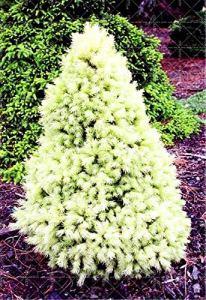 Generic Fresh 30pcs graines de pin pour planter du blanc