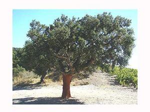 Graines de chêne Quercus SUBER, solide, germiné, enraciné dans un pot de 7 cm (la plante fait 5-10 cm de hauteur), arbre à feuilles persistantes, écorce gribouillante