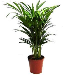 Or Fruit Palmier Areca?: env. 60?cm de haut, palmier Areca, (Chry salido carpus) Chambres Chambre Palmier, plante