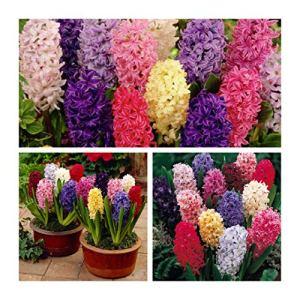 Humphreys Garden Hyacinth Jacinthes Mixte x 10 Bulbs Bulbes