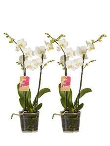 Orchidées de Botanicly – 2 × Orchidée papillon blanc – Hauteur: 50 cm, 2 pousses, fleurs blanches – Phalaenopsis multiflora