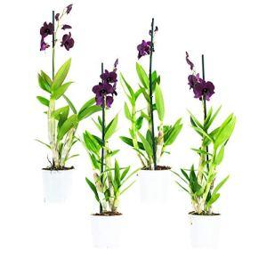 Orchidées de Botanicly – 4 × Dendrobium Sa-Nook – Hauteur: 60 cm, 1 pousse