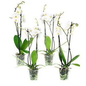 Orchidées de Botanicly – 4 × Orchidée papillon blanc – Hauteur: 60 cm, 2 pousses, fleurs blanches – Phalaenopsis Springtime