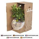Plante d'intérieur – Palmier à cannes en un cachepot marron haut comme un ensemble – Hauteur: 160 cm