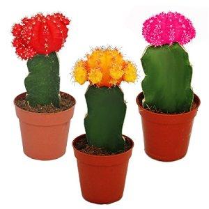 3 cactus raffinés de différentes couleurs dans un ensemble, pot de 5,5cm, env. 10-12cm de haut