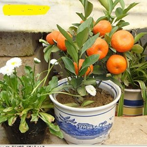 navire libre 10 graines Balcon Patio Potted Fruitiers Graines Plantées Kumquat Graines d'Orange Seeds Tangerine Citrus