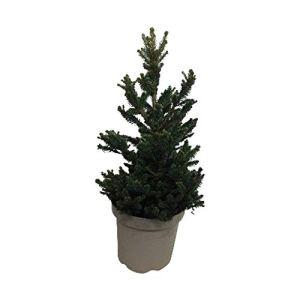 Arbre de Botanicly – Picea abies Wills Zwerg – Hauteur: 50 cm