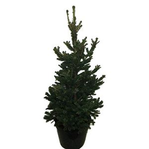 Arbre de Botanicly – Picea abies Wills Zwerg – Hauteur: 90 cm