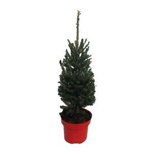 Arbre de Botanicly – Picea glauca Super Green – Hauteur: 30 cm