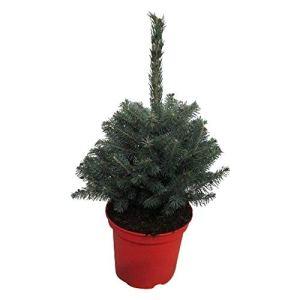 Arbre de Botanicly – Picea Pungens Super Blue – Hauteur: 35 cm