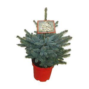 Arbre de Botanicly – Picea Pungens Super Blue – Hauteur: 45 cm
