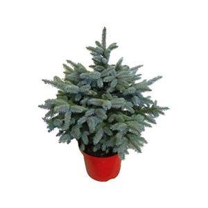 Arbre de Botanicly – Picea Pungens Super Blue – Hauteur: 60 cm