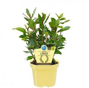 Bio Ours à épices (Laurus nobilis), plantes aromatiques en culture durable 1 Pflanze, je im 12cm Topf