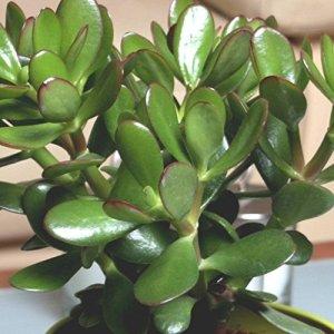Crassula portulacea Gollum Jade 1 plant blanc