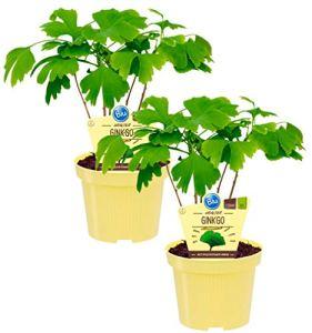 Ginkgo Bio (ginkgo biloba), plante médicinale connue qui prépare comme thé augmente la concentration, plantes issues de l'agriculture durable