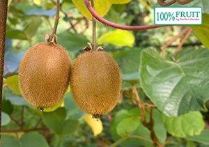 Kiwi artificiel auto-fruité (Actinidia deliciosa), variétés : Jenny, plantes hivernales fortes ca. 65cm hoch, im 14cm Topf