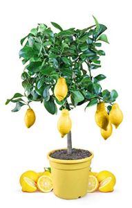 Meine Orangerie Mezzo Citrus Citrus Citrus Limon Tree 70 à 100 cm Citron vert/citron 6,5 l