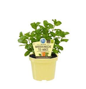 Menthe Thé Marocain Mentha Spicata – Plantes herbes cultivées durablement (1 plant)
