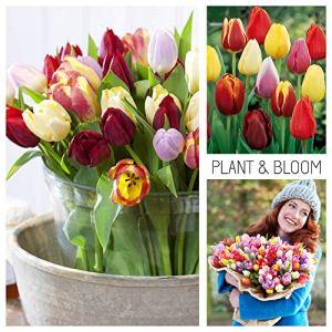 Plant & Bloom – Bulbes de fleurs, Tulipes Triomphes de Hollande – 35 ampoules, plantation d'automne, faciles à cultiver, floraison printanière – Roses Jaunes et Rouges – Qualité supérieure hollandaise