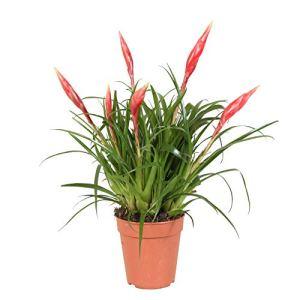 Vriesea»Multiflower Astrid» | Bromélia | Plante d'intérieur fleurie | Hauteur 40-45cm | Pot Ø 12cm