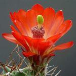 AGROBITS Mexicaine Claret Cup 5 graines Echinocereus Coccineus USDA 7-11 Combsh C105