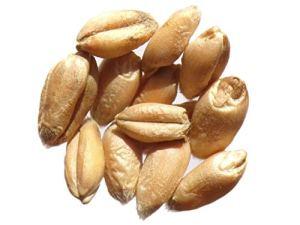 Blé de Castelnau de Montmirail – 100 grammes – Triticum Caesium – Wheat – (Engrais Vert – Green Manure) – SEM01