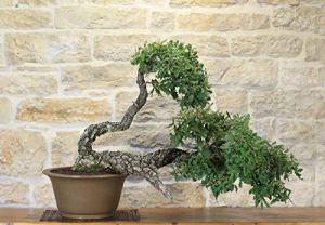 Downy Oak bonsai tree (3)