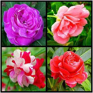 Impatiens mélanger les graines 30 pièces Impatiens Balsamina fleur biologique coloré facile à cultiver des graines de plantes pour la plantation de jardin extérieur cour décore plantes colorées