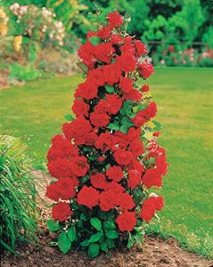 Lot de 2: Rosier arbuste Shalom