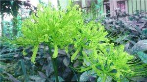 Lycoris Radiata Ampoules, 16 couleurs disponibles Bana Ampoules plantes en pot Bonsai Indoor Garden (pas de graines) – 2 pcs, envoyé des graines comme cadeau