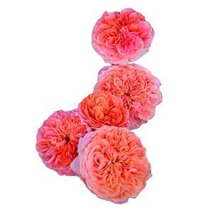 Marianne Orange Lumière Parfumée Floraison Quatre Saisons Floraison Résistant à la chaleur et aux maladies Balcon Jardin 300 Capsules