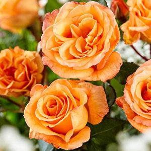 Rosa Doris Tysterman | Rosier buisson | Grandes fleurs oranges parfumées | Racines nues | Hauteur 22cm