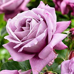 Rosa Waltz Time | Rosier buisson | Grandes fleurs lila-rose parfumées | Racines nues | Hauteur 22cm