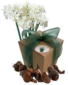 10 Bulbes à Fleurs Paperwhite – Narcisses Bulbes Blanc