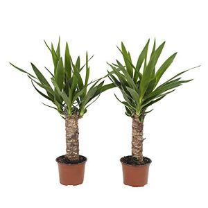Choice of Green – Yucca – Palmlelie – Lot de 2 pièces