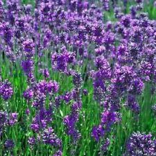 Herbe Lavandula – 100 graines