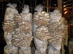 Huître royale (Pleurotus eryngii) 1 kg de mycélium sur substrat organique frais avec
