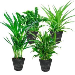 Mix 4 plantes avec pots décoratifs | Plantes vertes d'intérieur dépolluantes et purifiantes | Hauteur 25-30 cm | Pots Artstone noirs Ø 12cm inclus
