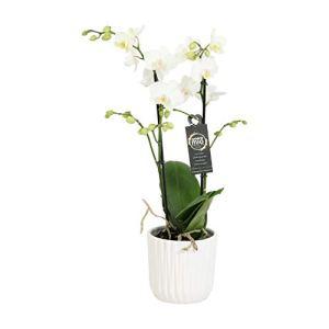 Orchidée – Orchidée papillon en pot céramique blanche ondulée comme un ensemble – Hauteur: 45 cm, 2 pousses, fleurs blanches