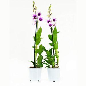 Orchidées de Botanicly – 2 × Dendrobium Sa-Nook – Hauteur: 55 cm, 1 pousse