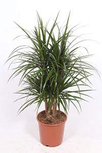 Plante d'intérieur de Botanicly – Dragonnier – Hauteur: 100 cm – Dracaena Marginata