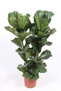 Plante d'intérieur de Botanicly – Ficus Lyrata – Hauteur: 110 cm
