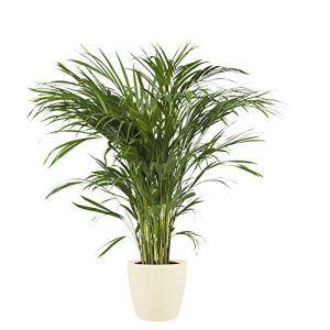 Plante d'intérieur de Botanicly – Palmiste multipliant en pot de fleur crème comme un ensemble – Hauteur: 90 cm – Areca dypsis lutescens