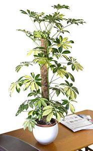 Plante d'intérieur – Plante pour la maison ou le bureau – Schefflera Trinette arborea variegata – Plante à feuillage panaché, hauteur 1,2m