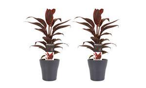 Plantes d'intérieur – 2 × Kordulê en pot de fleur gris comme un ensemble – Hauteur: 40 cm