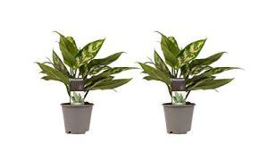 Plantes d'intérieur de Botanicly – 2 × Aglaonème – Hauteur: 25 cm – Aglaonema commutatum Maria Christina